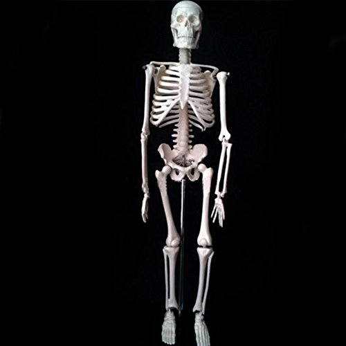 ROY ROJAS Anatomical Human Skeleton Model Medical Poster Bonnet Stand,1/4 Life Size,17 Teaching Aid,
