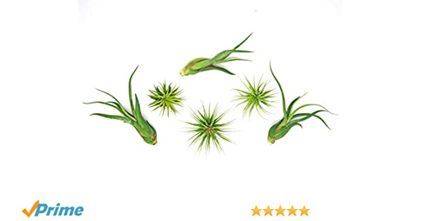 6 Office Plants | Easy Desk Plants | DIY Cubicle Accessories | Air Plants  for Desk Garden | Cozy Office Decor Kit | Live Tillandsia by Plants for Pets