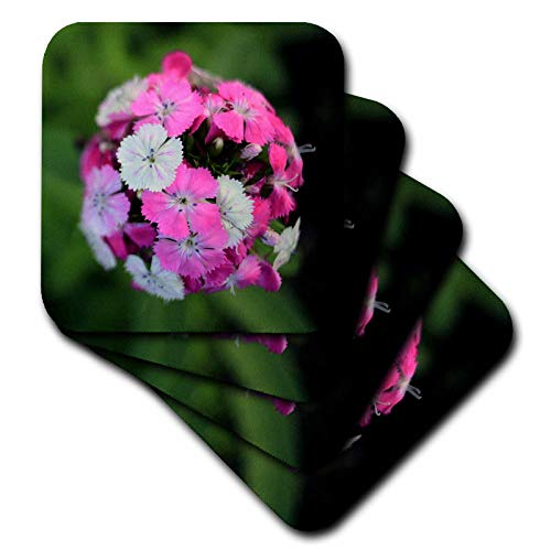 3dRose Stamp City - flowers - Close up photo of dianthus barbatus - Sweet William in shades of pink. - set of 8 Ceramic Tile Coasters (cst_308721_4) ()
