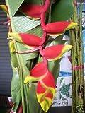 Bulb HELICONIA ROSTRATA RUIZ PAVON Plant