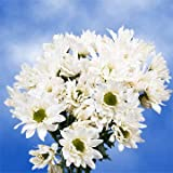 GlobalRose 36 Fresh Cut White Chrysanthemum Daisy Flowers - Fresh Flowers For Birthdays, Weddings or Anniversary.