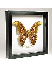 Attacus atlas - Atlasvlinder - Echte opgezette vlinder gemonteerd onder glas in handgemaakte zwart houten lijst