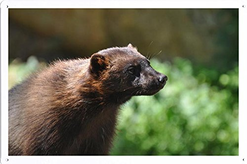 (Tin Poster (20x30cm) of Wolverine 2713 by Global Animal Sign)