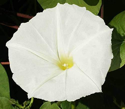 White Moonflower Vine Night Blooming Morning Glory #324 (50+ Seeds or 1/2oz)