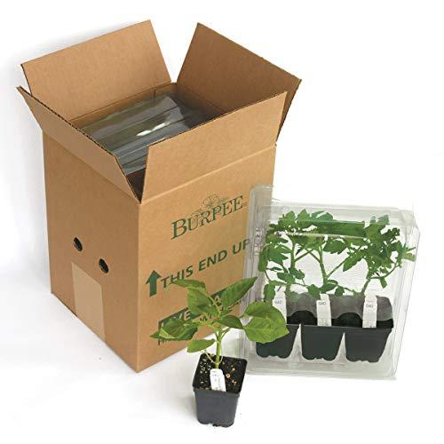 Burpee Bush Early Girl' Hybrid Tomato, 3 Live Plants | 2 1/2'' Pot by Burpee (Image #3)