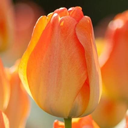 SILKSART 10 BULBS ORANGE Tulip Bulbs Perennial Bulbs for Garden Planting Size 12+cm FALL SHIPPING
