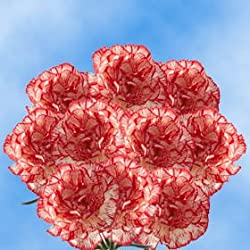 100 Fresh Cut Peppermint Carnations for Valentine's Day | Fresh Flowers Express Delivery | Perfect Gift for Valentine's Day.