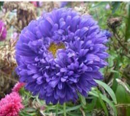 SD1500-0398 Korean Aster Flower Seeds, Rare Blue Color Petals Seeds, 60-Days Money Back Guarantee (150 Seeds)