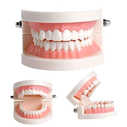 plutusdental Dental Teach Study Adult Standard Demonstration Typodont Teeth Model (Teeth Demonstration Model)