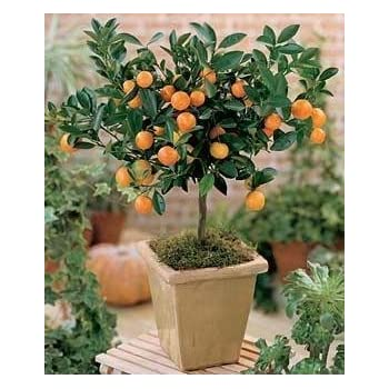 citrus mitis calamondin minature orange tree 35 seeds garden outdoor. Black Bedroom Furniture Sets. Home Design Ideas