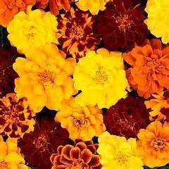 Orange, Red and Yellow Dwarf Marigolds- 75 Seeds