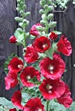 50 Mixed Colors HOLLYHOCK COUNTRY ROMANCE MIX Alcea Rosea Flower Seeds