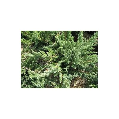 (1 Gallon) Parsoni Juniper, Evergreen, Low-Maintenance, Attractive Ground Cover, Easy to Grow, : Garden & Outdoor