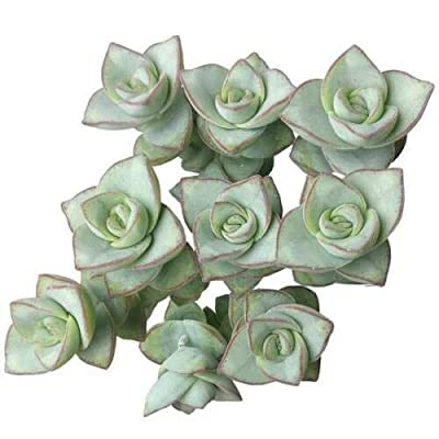 Ivory Towers Crassula Conjuncta Crassula Silvery-White (4 inch) : Garden & Outdoor