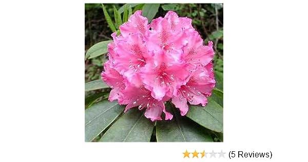 Amazon Com 10 Red Cumberland Azalea Rhododendron Cumberlandense