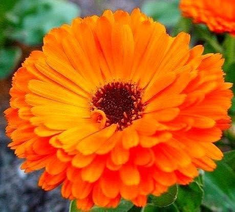 Semillas de Marigold Pot - Calendula officinalis - 360 semillas