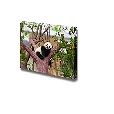 Canvas Prints Wall Art - Sleeping Baby Giant Panda on a Tree Branch | Modern Wall Decor/Home Art Stretched Gallery Canvas Wrap Giclee Print & Ready to Hang - 16
