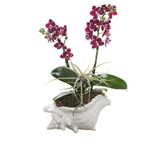 Living Phalaenopsis & Airplant in LG Ceramic Seashell pot - Petite Burgundy Blooms