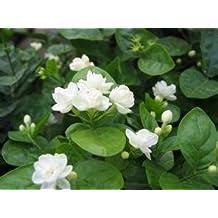 Jasmine flower seeds 50pcs/pack white jasmine Seeds, fragrant plant arabian jasmine seeds