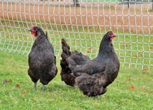 Electric Poultry Netting 164 Ft. Long X 48'' High by Electric Garden Netting