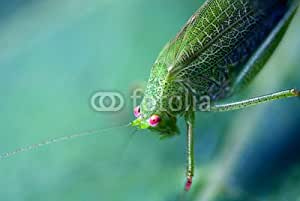 Grasshopper over a Leaf, Italy (67442589), lona, 80 x 50 cm