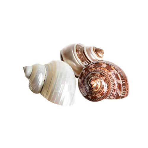 (Hermit Crab Home Turbo Shell | 3 Pack Turbo Shells | 3 Polished Turbo Shells 2