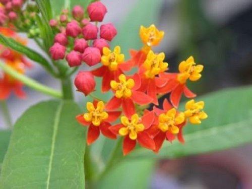 100 SUNSET / BLOOD FLOWER Scarlet Milkweed - Asclepias Curassavica Seeds *Comb S/H