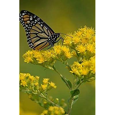 Stiff Goldenrod Seeds (25 Seeds) : Garden & Outdoor