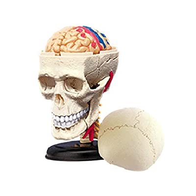 4D Vision Human Anatomy - Cranial Skull Model: Toys & Games