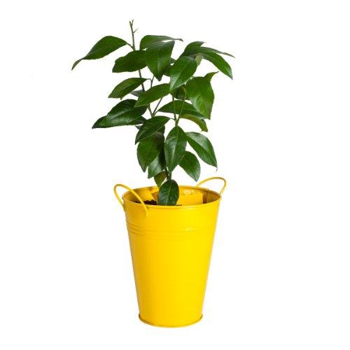 Bloomsz Lemon Tree in Decorative Planter by Bloomsz (Image #1)