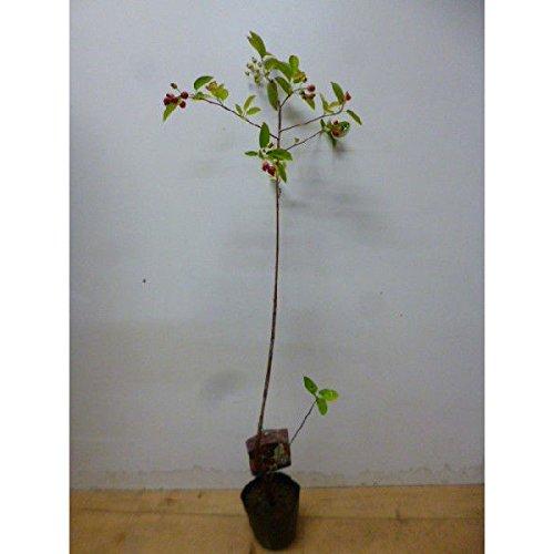 【20本セット】 ジューンベリー 樹高0.5m前後 15cmポット 春に白い花が咲き、6月ごろ実がなります。 苗木 植木 苗 庭木 生け垣 B00LBS7U58