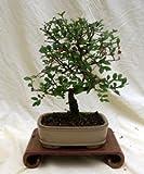 Specimen Chinese Elm Bonsai Tree in 10'' Bonsai Pot, 3ce From Hollow Creek Bonsai