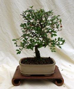 Specimen Chinese Elm Bonsai Tree in 10'' Bonsai Pot, 3ce From Hollow Creek Bonsai by HOLLOWCREEKBONSAI.COM