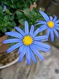 HOT - Felicia The Blue Daisy - Sky Blue - 110 Seeds - F. amelloides - Annual Flower