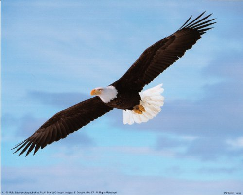 Soaring Bald Eagle Animal Bird Nature Wall Decor Art Print Poster