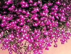 50+ Trailing Rose Colored Lobelia Regatta Perennial Flower Seeds / Great for Hanging ()
