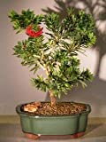Bonsai Boy's Flowering Bottlebrush - Little John - Medium Callistemon Citrinus Little John