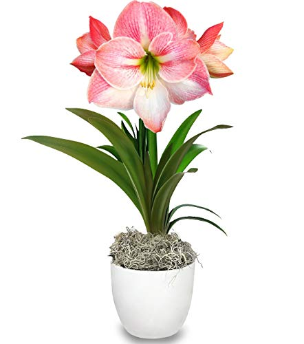Grow Your Own Indoor Amaryllis Bulb Gift Kit | Pink Appleblossom Flower Bulb in a Limited Edition White Classic Pot - Blooms in 4-8 Weeks - Easy to Grow