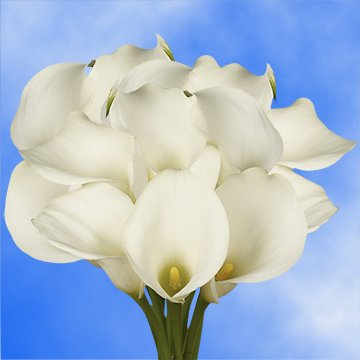 GlobalRose 30 Stems of White Calla Lilies - Fresh Flowers for Delivery by GlobalRose
