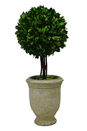 Galt International Ball Topiary Plant with Twig Stem in Terracotta Pot, 16-Inches Naturally Preserved Real Boxwood (Cotta Pot Terra Artificial)