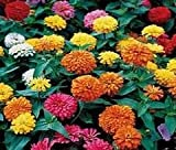 The Dirty Gardener California Giant Zinnia Elegans Flower Mix - .5 Pounds by The Dirty Gardener