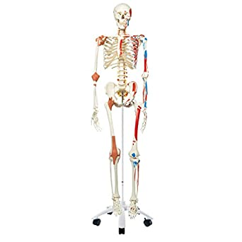 """3B Scientific A13 Plastic Super Human Skeleton Model """"Sam"""" - Flexible with Muscles and Ligaments On a Pelvic Mounted Stand, 66.9"""" Height"""