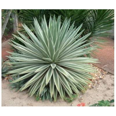 Cheap Fresh Agave Angustifolia Marginata Variegated Narrowleaf Agave Get 1 Plant Easy Grow #GRG01YN : Garden & Outdoor