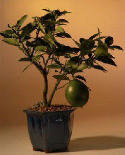 Flowering Lemon Bonsai Tree (meyer lemon)