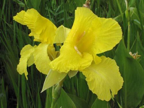 1 Canna flaccisa Rare Yellow Water Canna Quart Live Plant #TND124