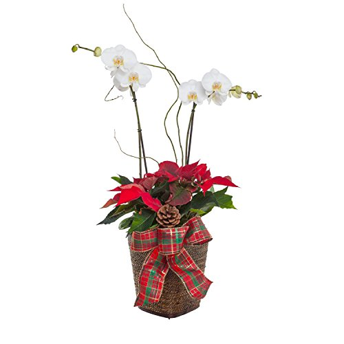 Christmas Basket | Poinsettia and White Phalaonopsis Orchid