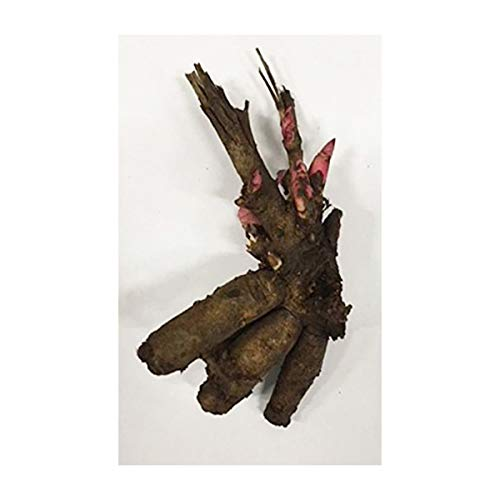 Burpee 'Bartzella' Itoh Perennial Peony - 1 Bare Root 3-5 Eye Plant by Burpee (Image #2)