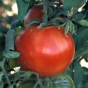 Tomato Bonny Best Great Garden Heirloom Vegetable By Seed Kingdom