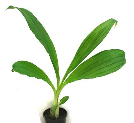 1 blühfähige Orchidee der Sorte: Calanthe rubra Hybride, 11cm Topf