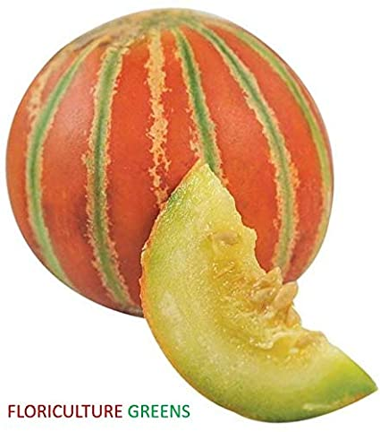 Floriculture Greens Muskmelon Kharbuja Fruit Seeds For Home Gardening Planting Amazon In Garden Outdoors Here's what else this yummy summertime fruit has to offer. floriculture greens muskmelon kharbuja fruit seeds for home gardening planting